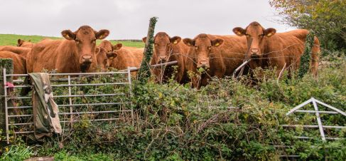 Cows-3227