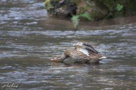 duck 1-3760