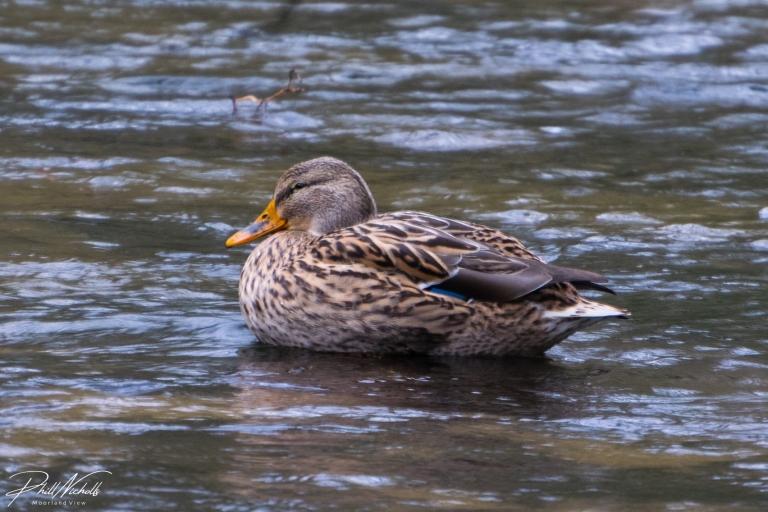 duck-3753
