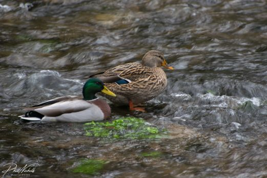 duck couple-3766