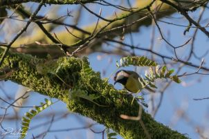 River Plym Great Tit 2