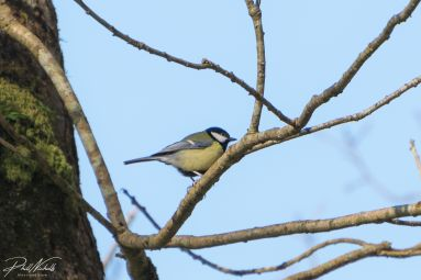 River Plym Great Tit