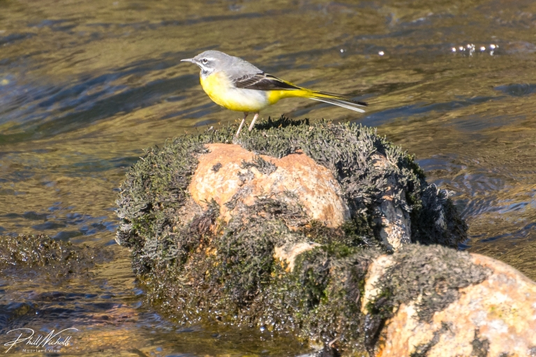 River Plym Grey Wagtail 2
