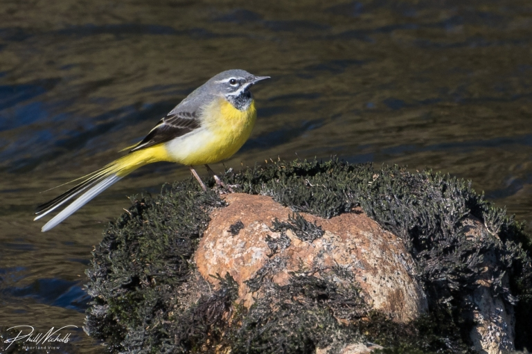 River Plym Grey Wagtail 3