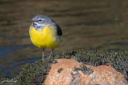 River Plym Grey Wagtail 4