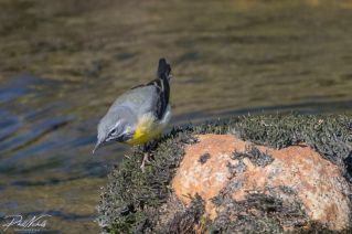 River Plym Grey Wagtail 5