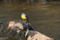 River Plym Grey Wagtail