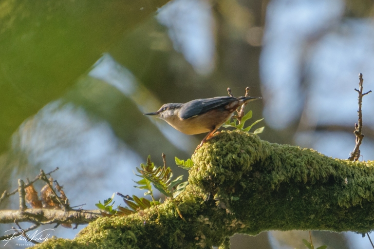 River Plym Nuthatch 2