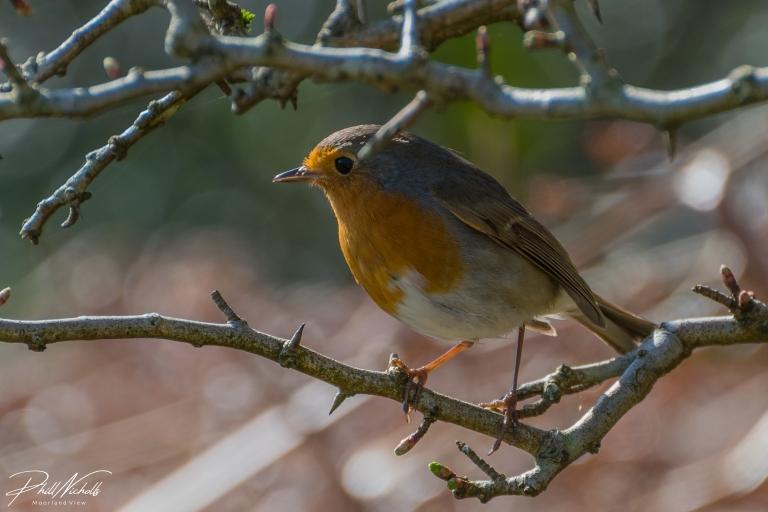Robin 5