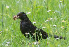 Blak bird 1
