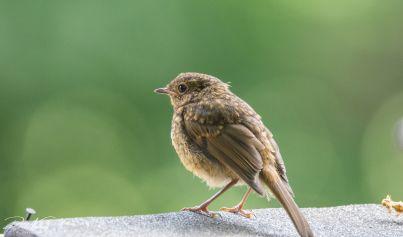 Baby Robin 2