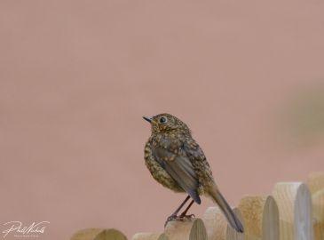 Baby Robin 3