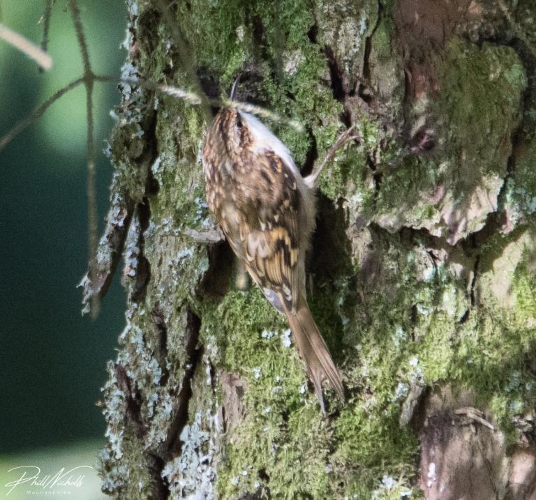 Tree crepper 2c