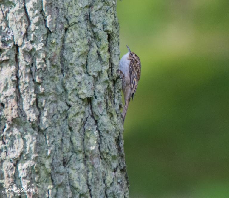 Tree crepper 3c