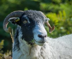 Venford Sheep1
