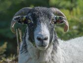 Venford Sheep2