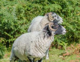 Venford Sheep3