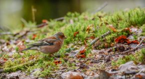 Burrator Waterfall chaffinch 3 (1 of 1)
