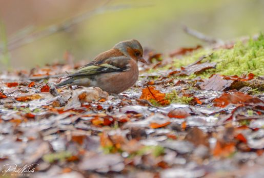 Burrator Waterfall chaffinch 4 (1 of 1)