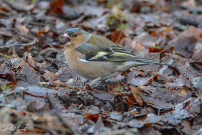 Burrator Waterfall chaffinch 6 (1 of 1)