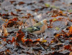 Burrator Waterfall chaffinch 7 (1 of 1)