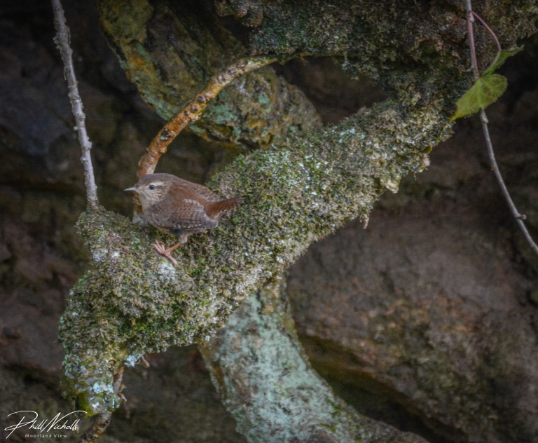 Burrator Waterfall Wren-0399