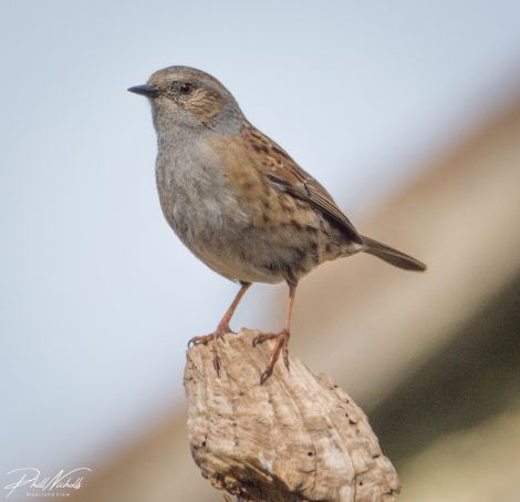 Dunnock 02 (1 of 1)