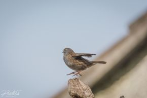Dunnock 03 (1 of 1)