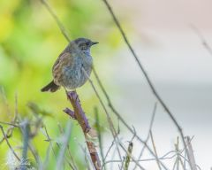 Dunnock 04 (1 of 1)