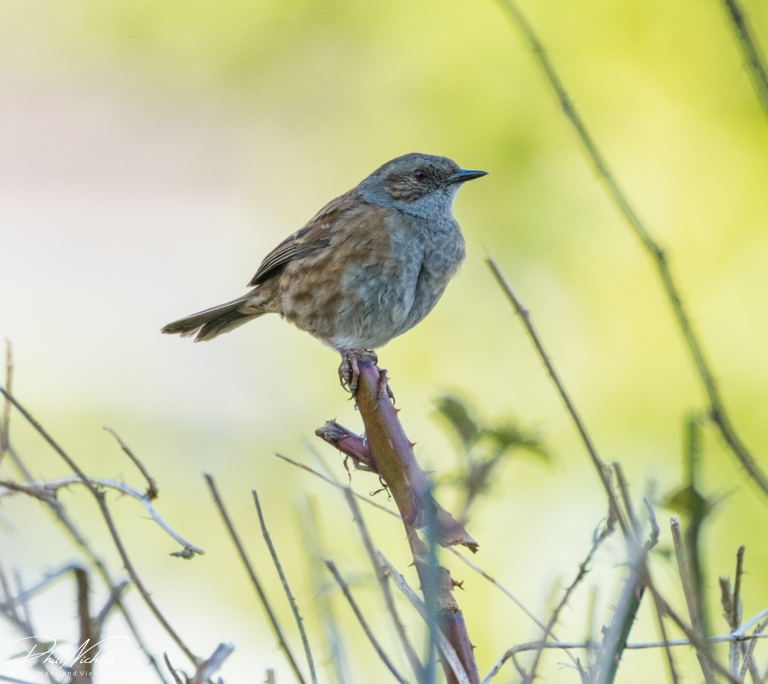 Dunnock 05 (1 of 1)