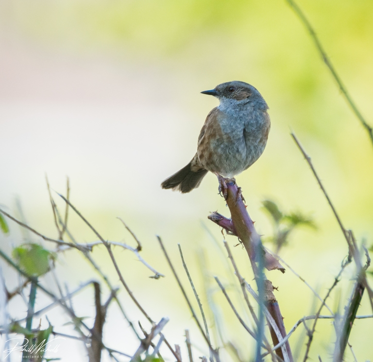 Dunnock 06 (1 of 1)
