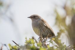 Dunnock 4 (1 of 1)