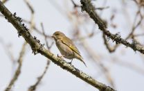 Greenfinch 2 (1 of 1)