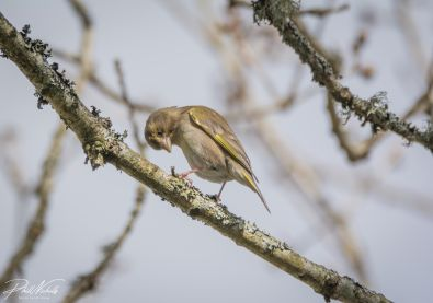 Greenfinch(1 of 1)