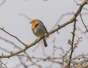 Robin 03 (1 of 1)