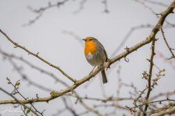 Robin 05 (1 of 1)