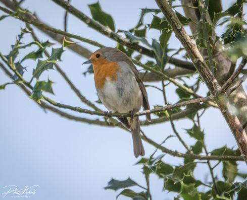 Robin 070402020 No1 (1 of 1)
