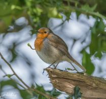 Robin B (1 of 1)